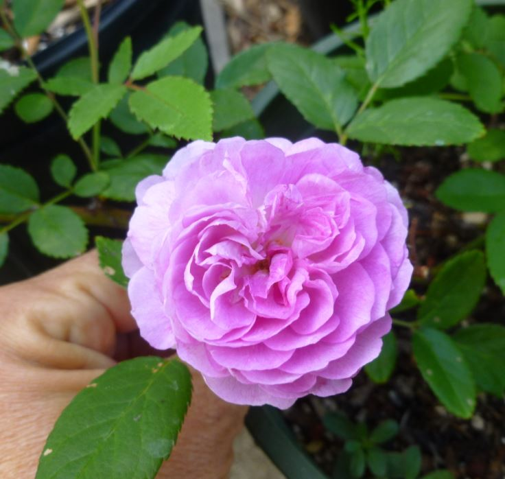 Aunt Margy's Rose